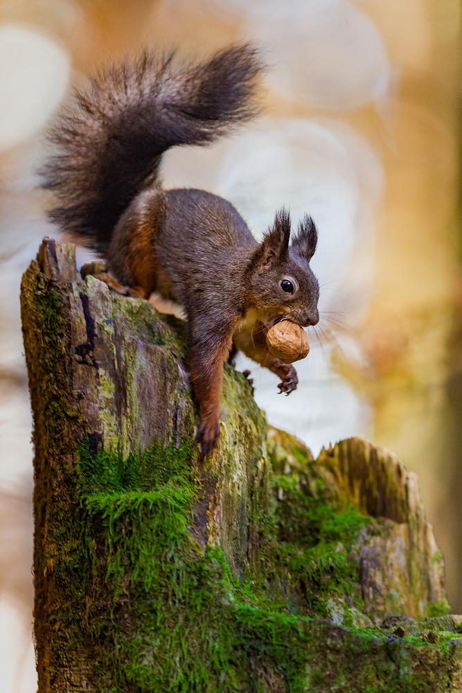 Eichhörnchen 20141101-8021234