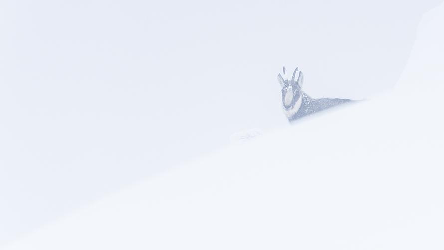 Gams, Christoph Ruisz, Naturfotografie