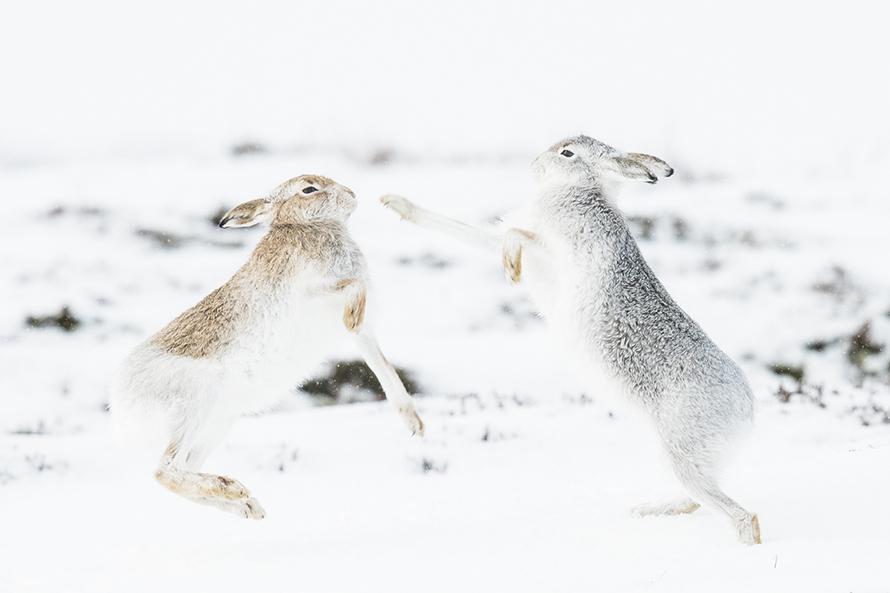 boxende Schneehasen, Christoph Ruisz, Naturfotografie