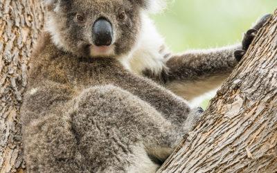 """Bildpräsentation """"Koala"""""""