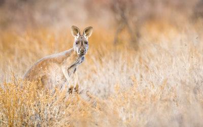 """Bildpräsentation """"Red Kangaroo"""""""