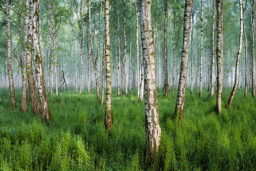 Wald-004-Moorbirkenwald