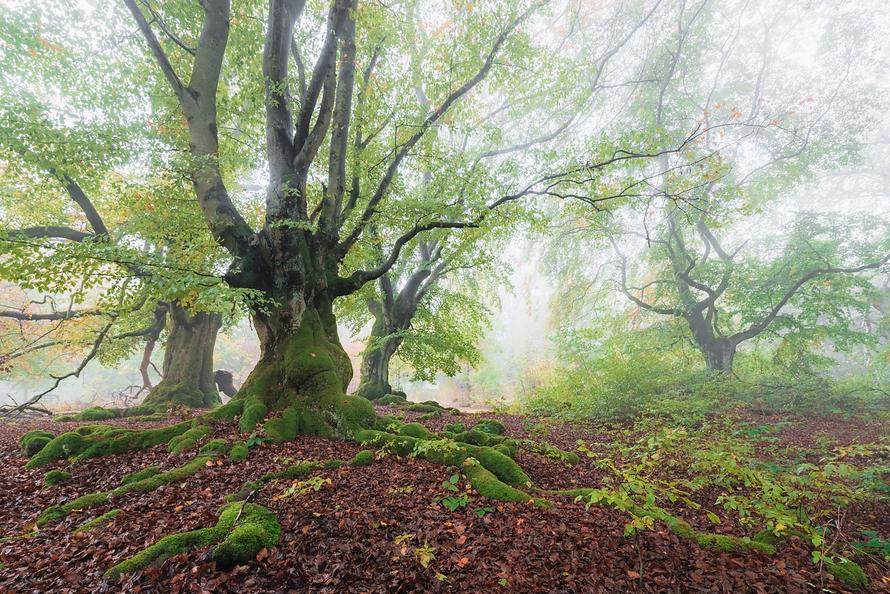 Wald-015-Buchen-im-Nebel