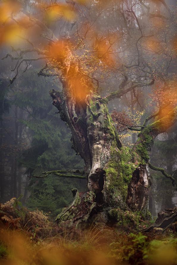 Wald-017-Baumriese