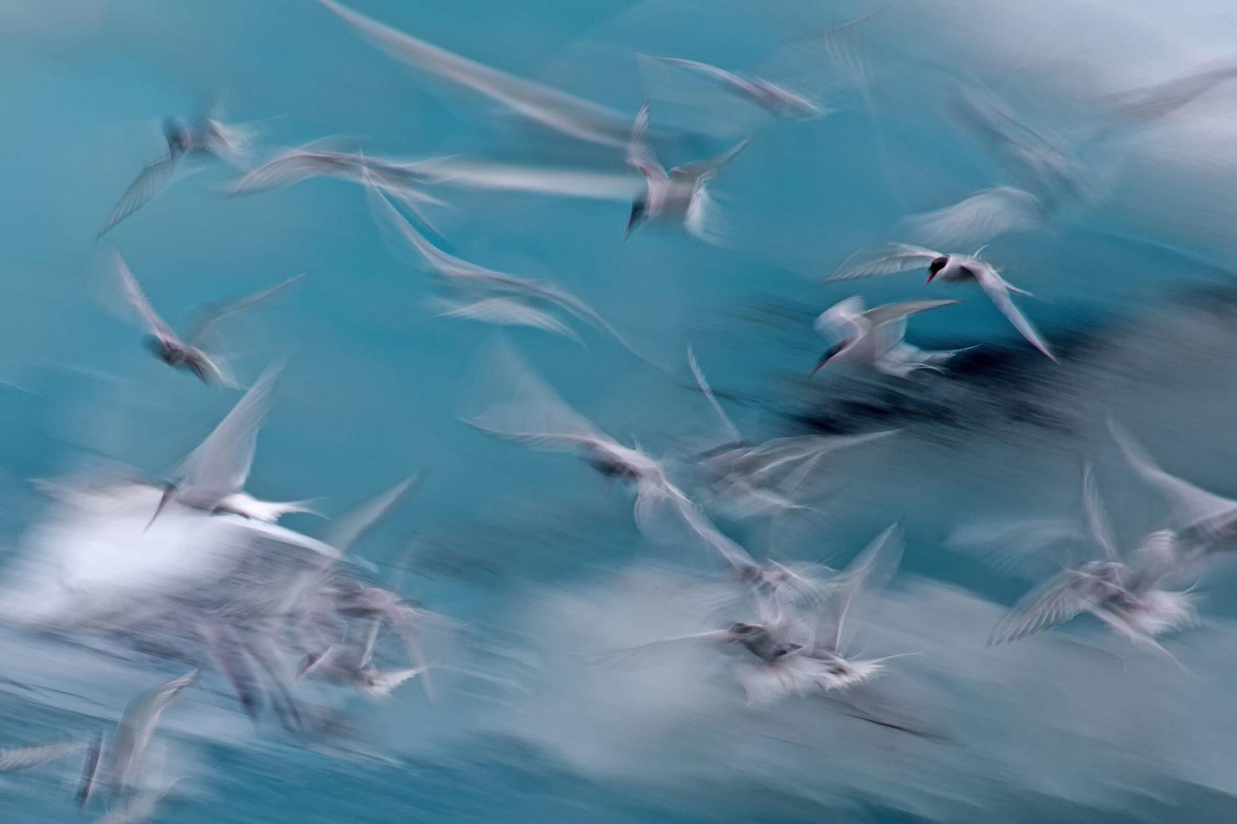 SvenHerdt_Küstenseeschwalbe