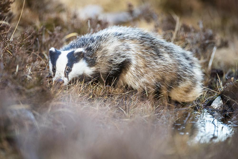 Schottlands faszinierende Wildtiere