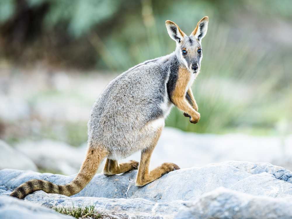 6_Yellow-footed_rock-wallaby_Ruisz