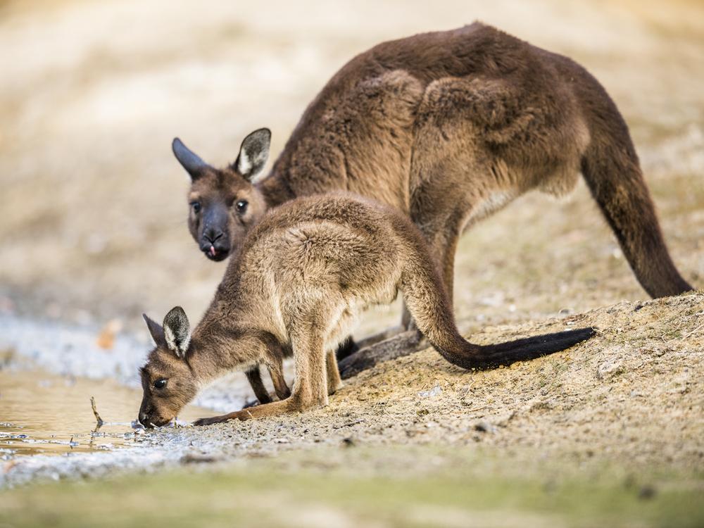 8_Western_grey_Kangaroos_Ruisz