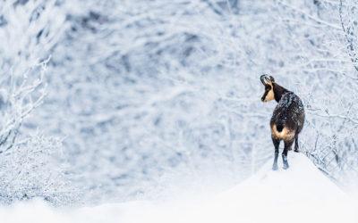 Bildpräsentation: Gams im Schnee