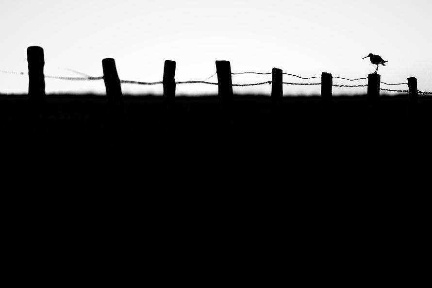 Uferschnepfe