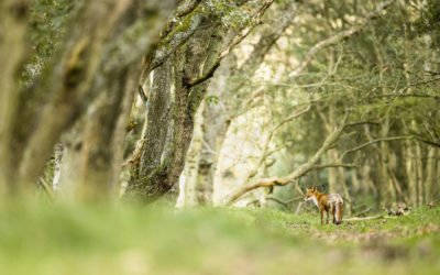 Bildpräsentation: Fuchs im Lebensraum