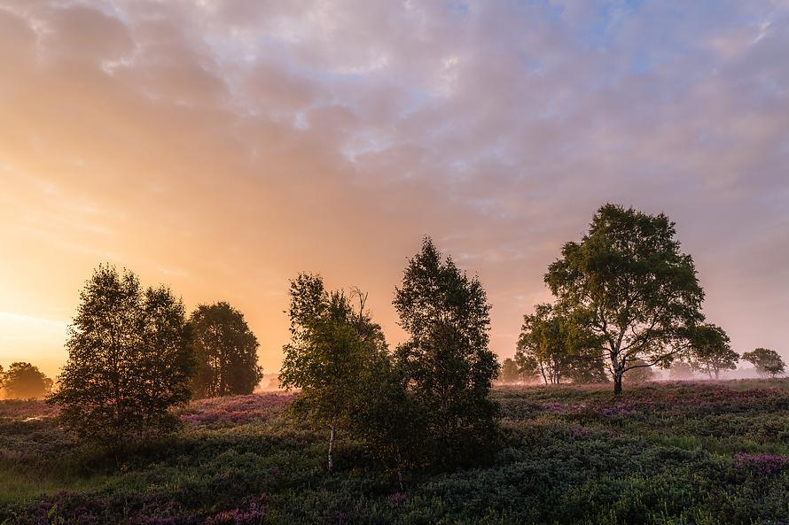 Heideblüte-004_