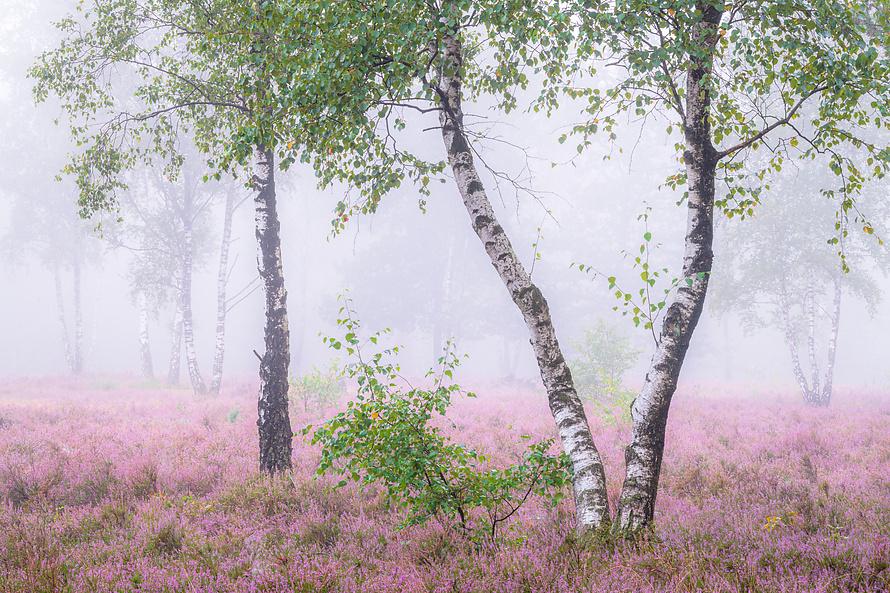 Heideblüte-007_