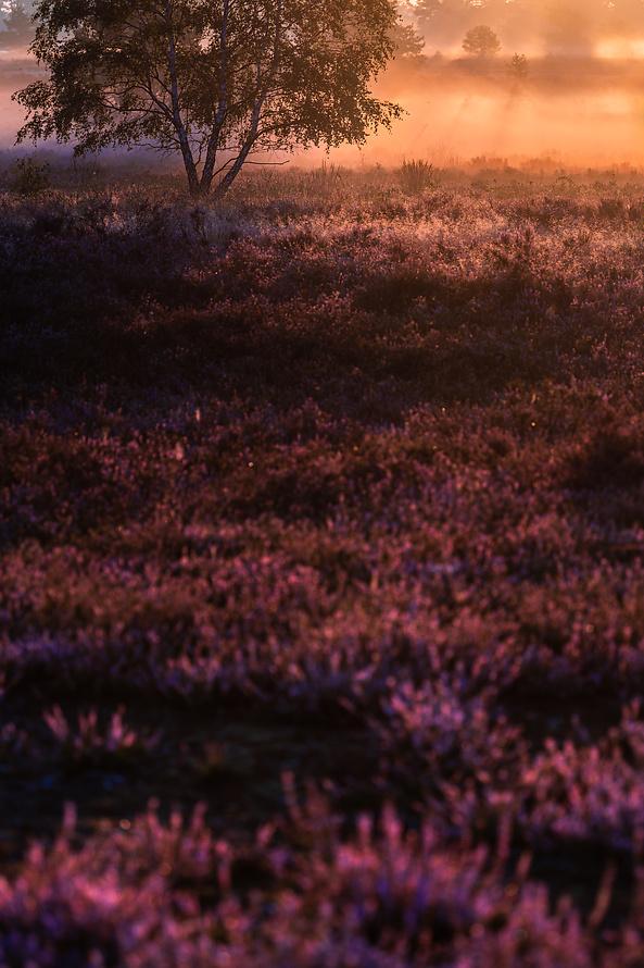 Heideblüte-014_