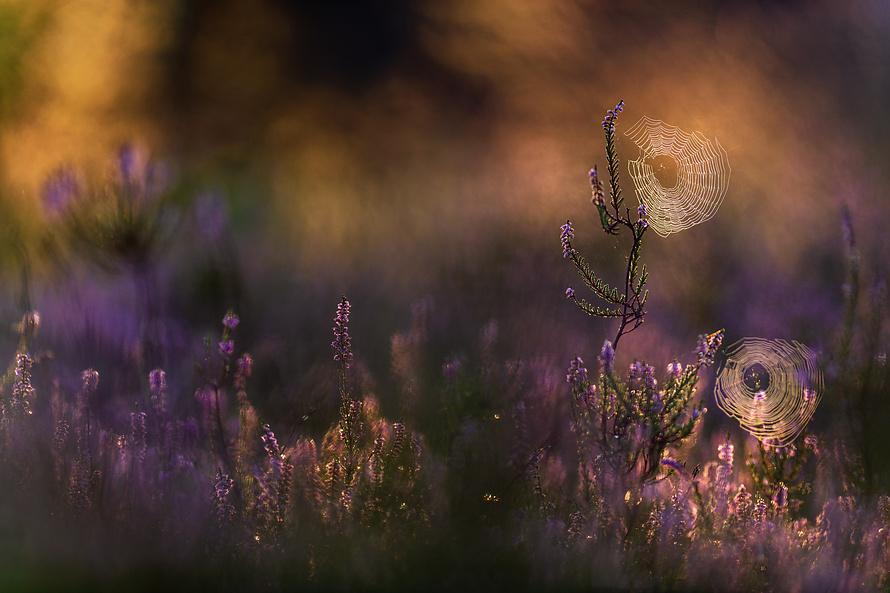 Heideblüte-015_
