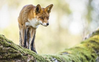Bildpräsentation: Grüße vom Fuchs