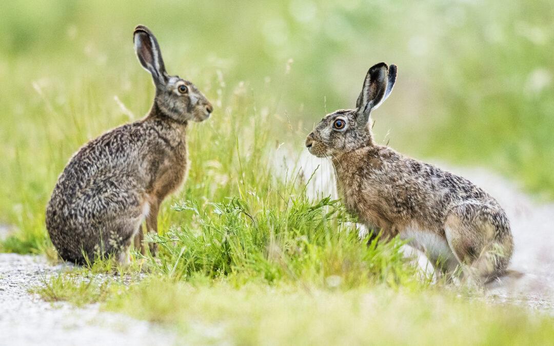Bildpräsentation: Wenn sich zwei Hasen treffen