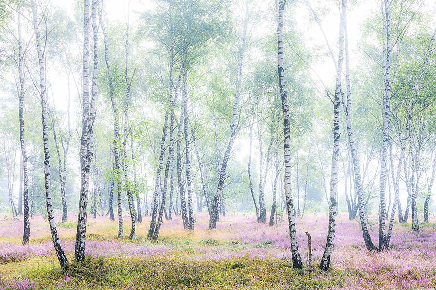 Heidebluete im Birkenwald