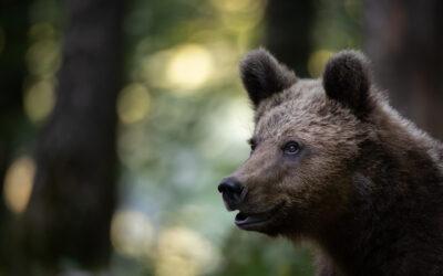 Braunbären in Slowenien