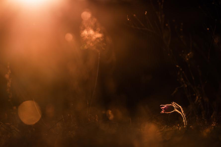 Kuhschelle im Abendlicht